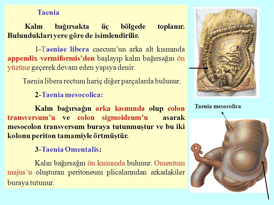 Taenia Kalın bağırsakta üç bölgede toplanır. Bulundukları yere göre de isimlendirilir.