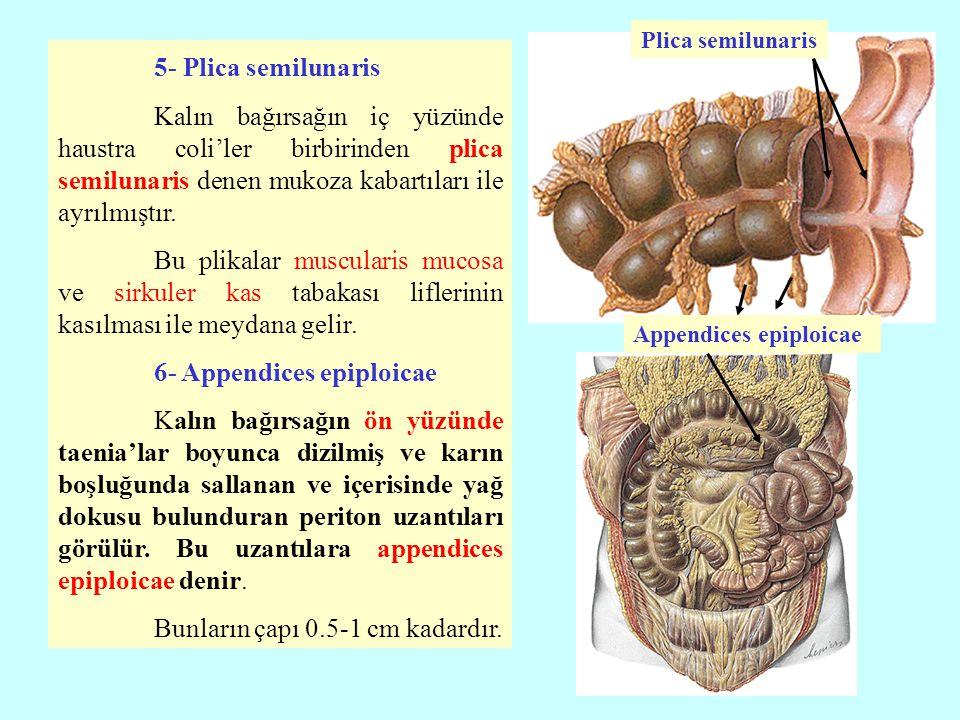 Plica semilunaris 5- Plica semilunaris.