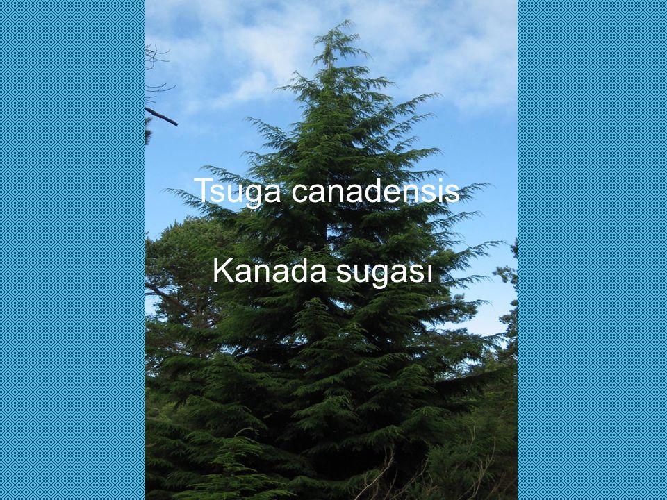 Tsuga canadensis Kanada sugası