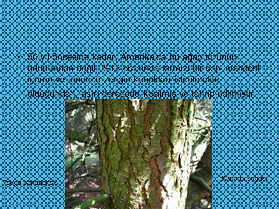 50 yıl öncesine kadar, Amerika da bu ağaç türünün odunundan değil, %13 oranında kırmızı bir sepi maddesi içeren ve tanence zengin kabukları işletilmekte olduğundan, aşırı derecede kesilmiş ve tahrip edilmiştir.