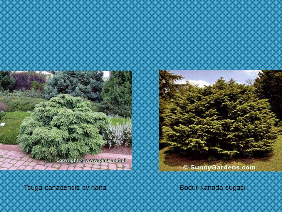 Tsuga canadensis cv nana