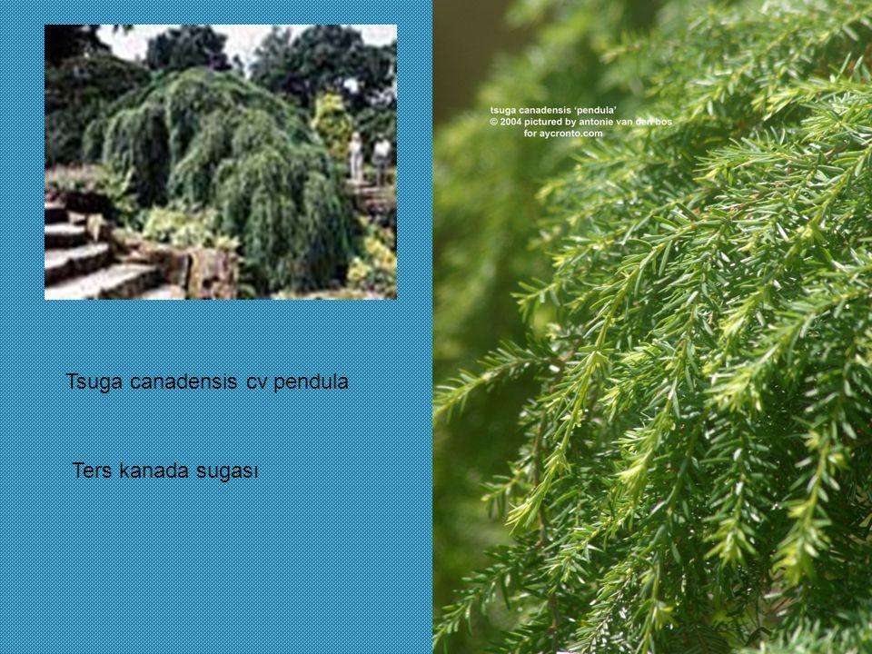 Tsuga canadensis cv pendula