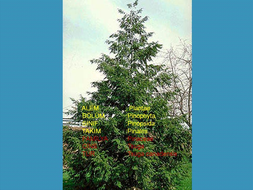 ALEM : Plantae BÖLÜM :Pinophyta. SINIF :Pinopsida. TAKIM :Pinales. FAMİLYA :Pinaceae. CİNS :Tsuga.