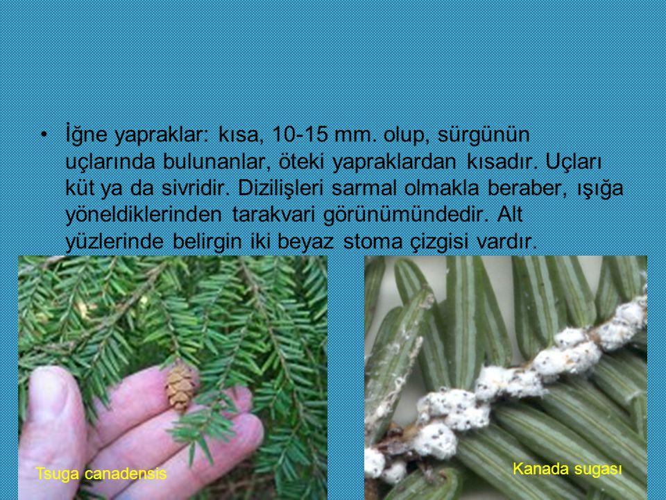 İğne yapraklar: kısa, 10-15 mm