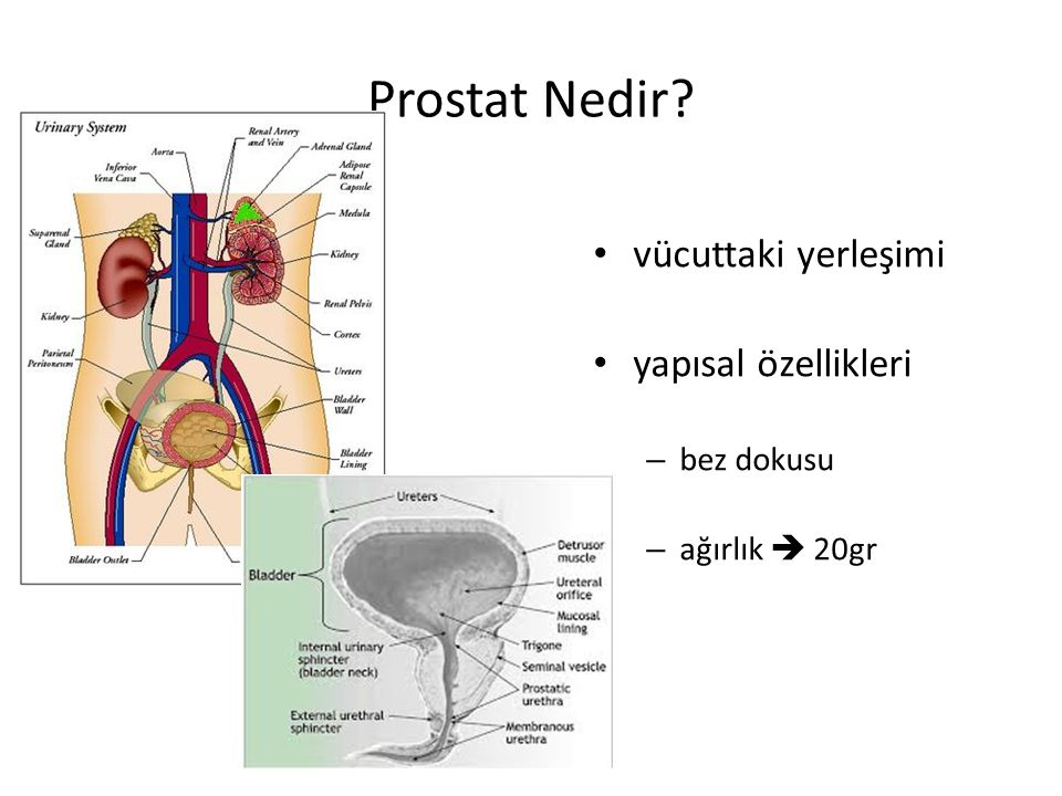 Prostat Nedir vücuttaki yerleşimi yapısal özellikleri bez dokusu