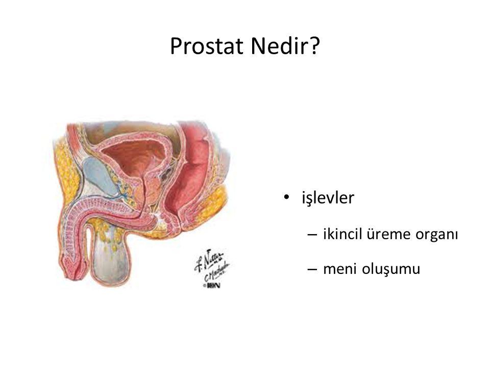 Prostat Nedir işlevler ikincil üreme organı meni oluşumu