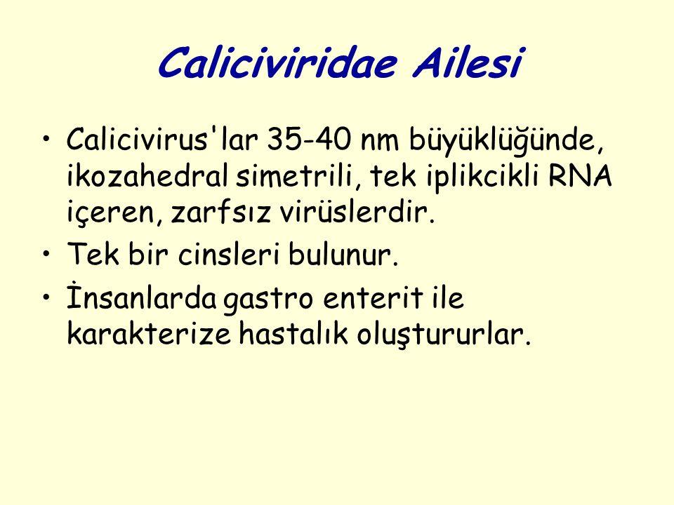 Caliciviridae Ailesi Calicivirus lar 35-40 nm büyüklüğünde, ikozahedral simetrili, tek iplikcikli RNA içeren, zarfsız virüslerdir.