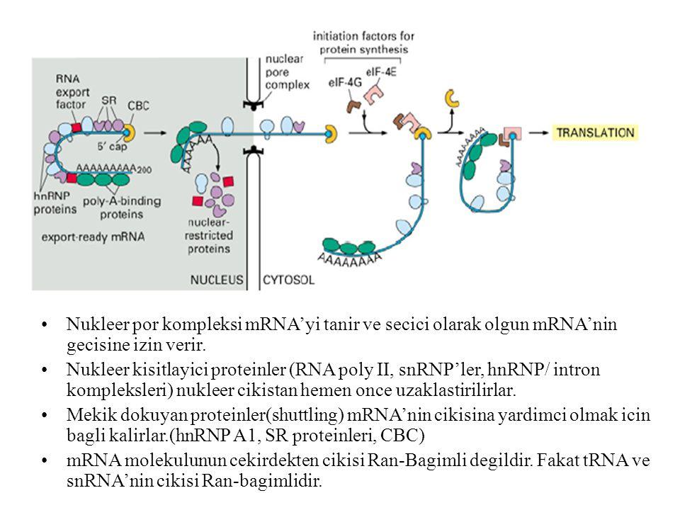 Nukleer por kompleksi mRNA'yi tanir ve secici olarak olgun mRNA'nin gecisine izin verir.