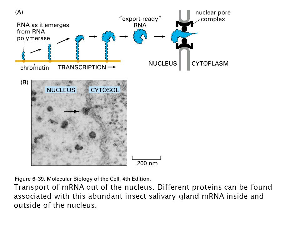 Transport of mRNA out of the nucleus