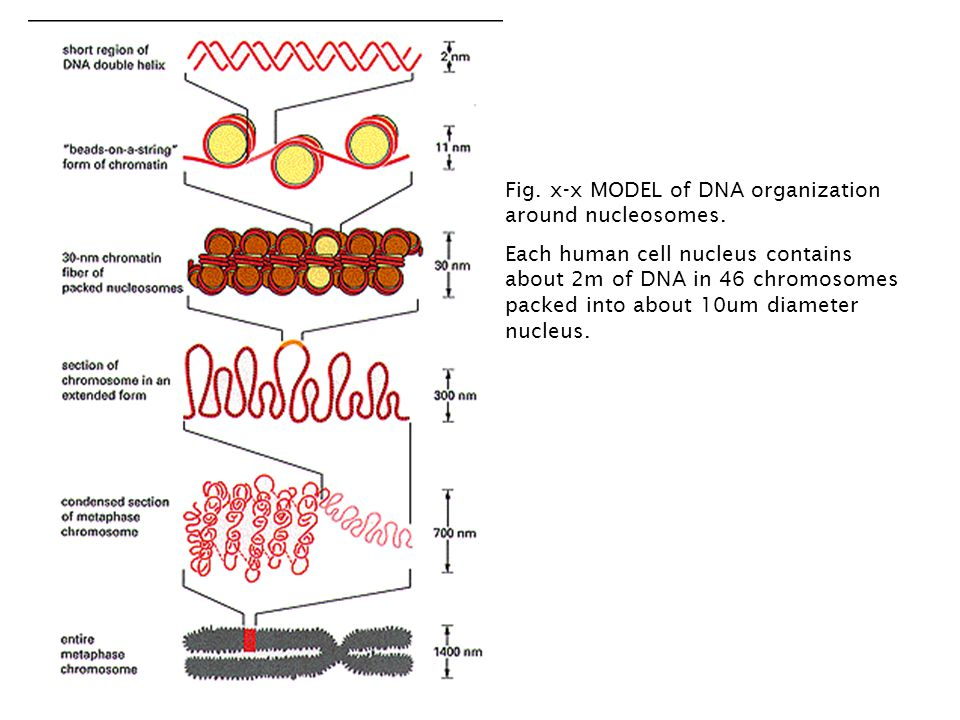 Fig. x-x MODEL of DNA organization around nucleosomes.