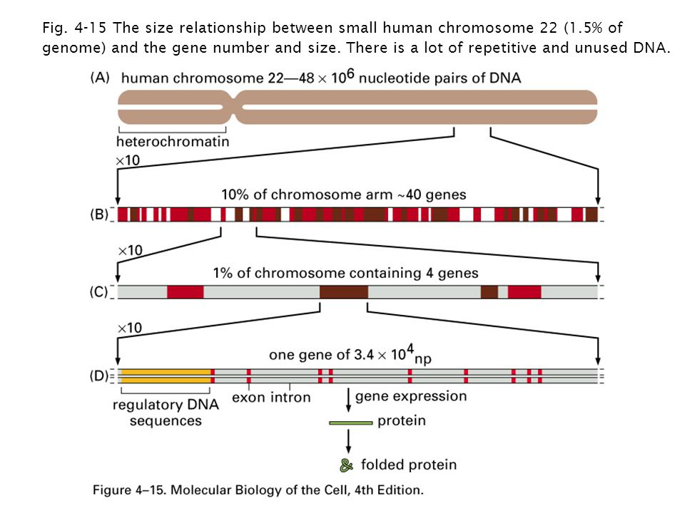 Fig The size relationship between small human chromosome 22 (1