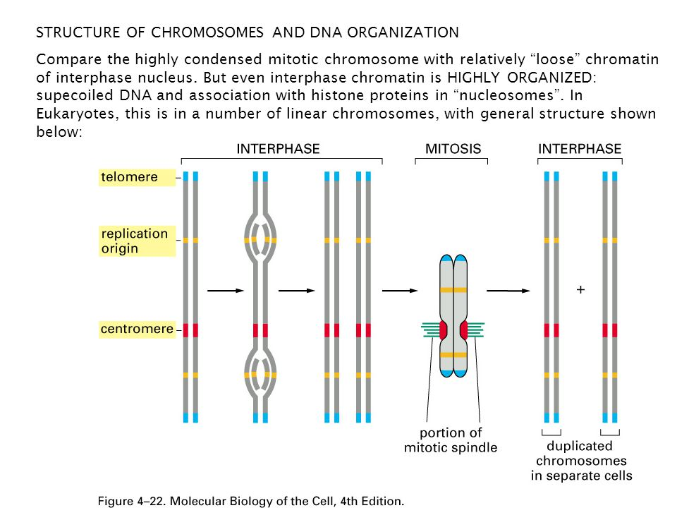 STRUCTURE OF CHROMOSOMES AND DNA ORGANIZATION