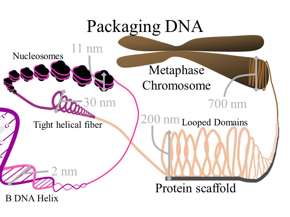 Packaging DNA 11 nm 30 nm 200 nm 2 nm 700 nm Metaphase Chromosome