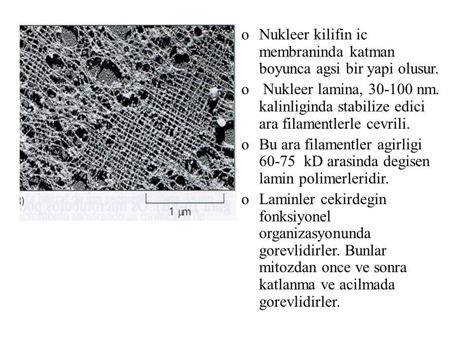 Nukleer kilifin ic membraninda katman boyunca agsi bir yapi olusur.