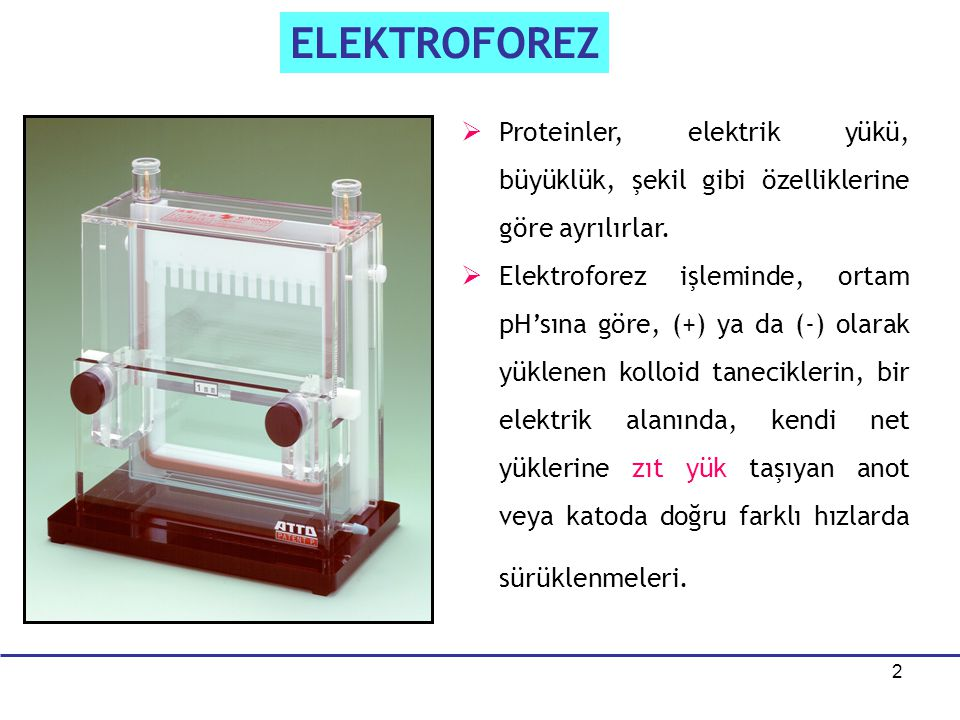 ELEKTROFOREZ Proteinler, elektrik yükü, büyüklük, şekil gibi özelliklerine göre ayrılırlar.