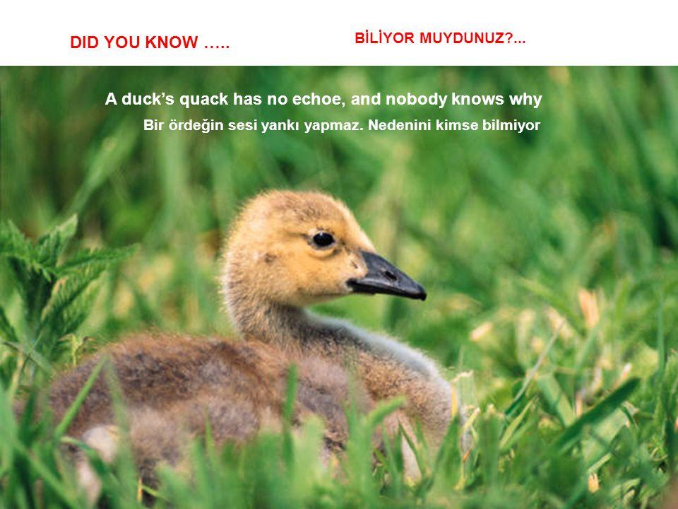 Bir ördeğin sesi yankı yapmaz. Nedenini kimse bilmiyor