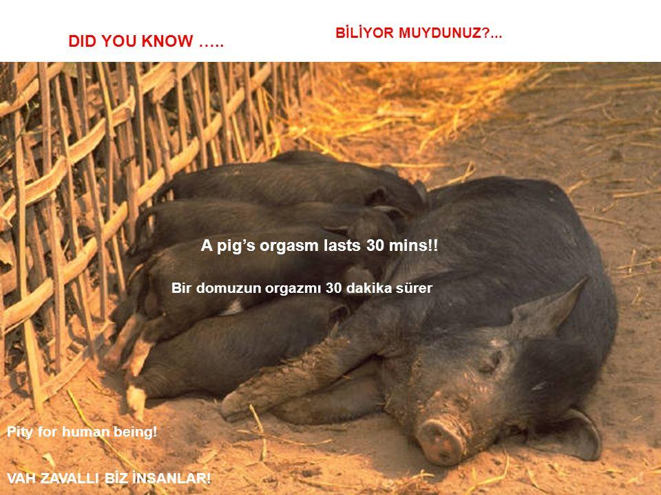 A pig's orgasm lasts 30 mins!! Bir domuzun orgazmı 30 dakika sürer
