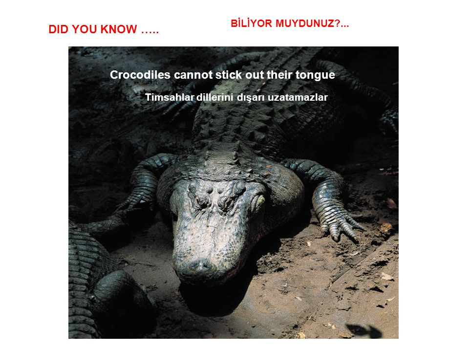 DID YOU KNOW ….. Crocodiles cannot stick out their tongue