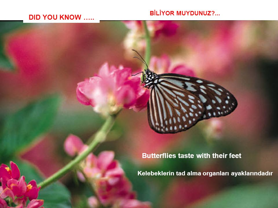 DID YOU KNOW ….. Butterflies taste with their feet