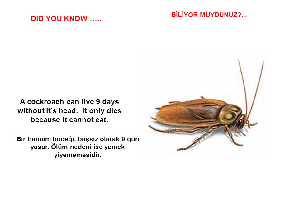 BİLİYOR MUYDUNUZ ... DID YOU KNOW ….. A cockroach can live 9 days without it's head. It only dies because it cannot eat.
