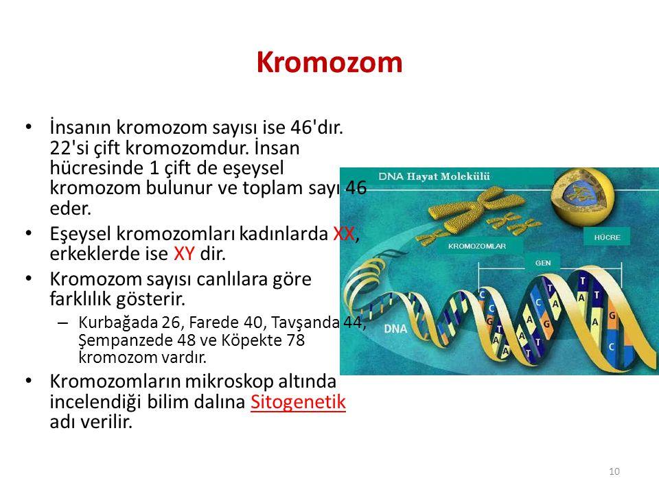 Kromozom İnsanın kromozom sayısı ise 46 dır. 22 si çift kromozomdur. İnsan hücresinde 1 çift de eşeysel kromozom bulunur ve toplam sayı 46 eder.
