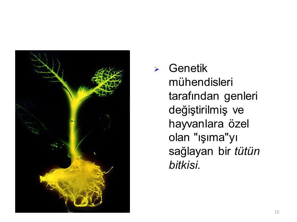 Genetik mühendisleri tarafından genleri değiştirilmiş ve hayvanlara özel olan ışıma yı sağlayan bir tütün bitkisi.