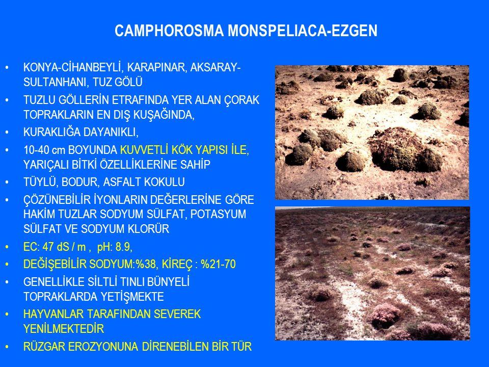 CAMPHOROSMA MONSPELIACA-EZGEN