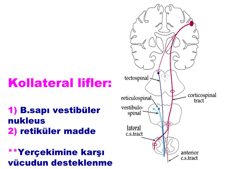 Kollateral lifler: 1) B. sapı vestibüler nukleus 2) retiküler madde