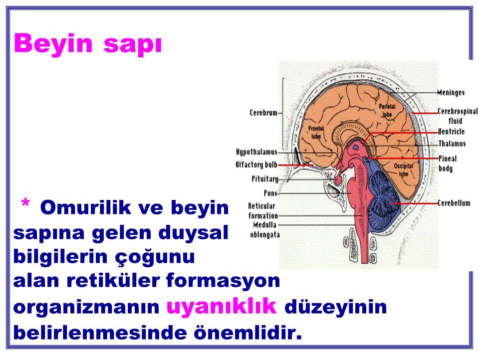 Beyin sapı * Omurilik ve beyin sapına gelen duysal bilgilerin çoğunu alan retiküler formasyon organizmanın uyanıklık düzeyinin belirlenmesinde önemlidir.
