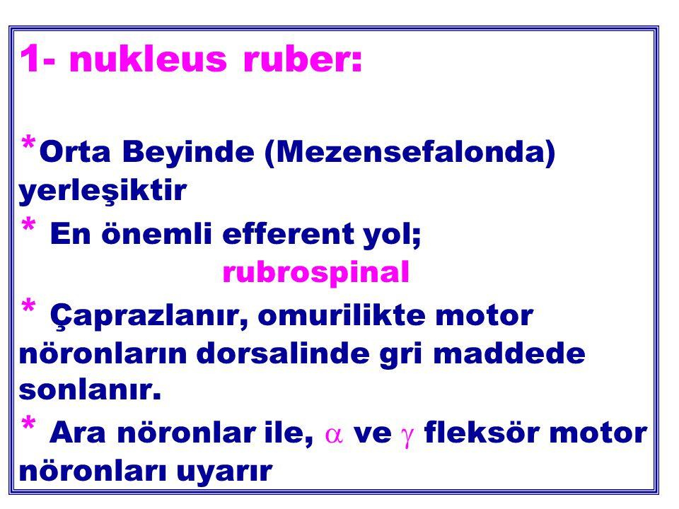 1- nukleus ruber:. Orta Beyinde (Mezensefalonda) yerleşiktir