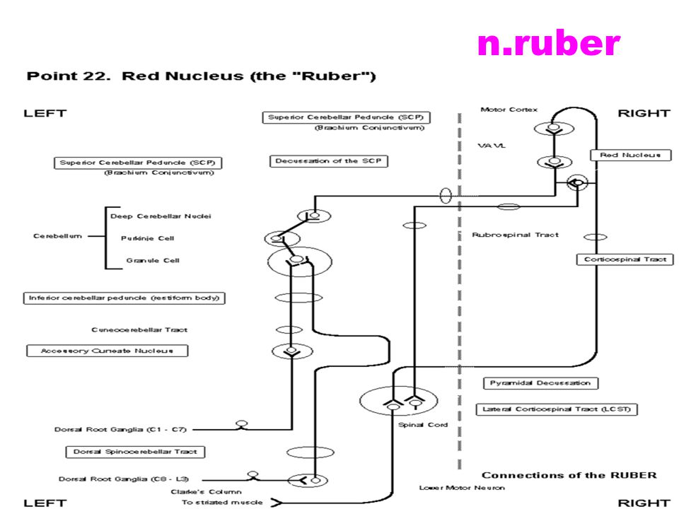 n.ruber