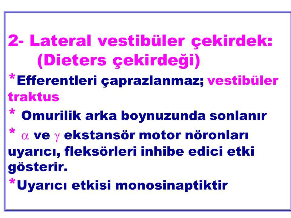 2- Lateral vestibüler çekirdek:. (Dieters çekirdeği)
