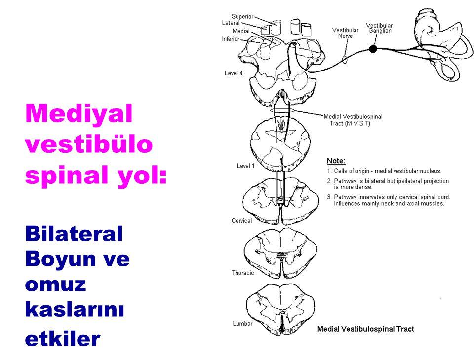Mediyal vestibülo spinal yol: Bilateral Boyun ve omuz kaslarını etkiler