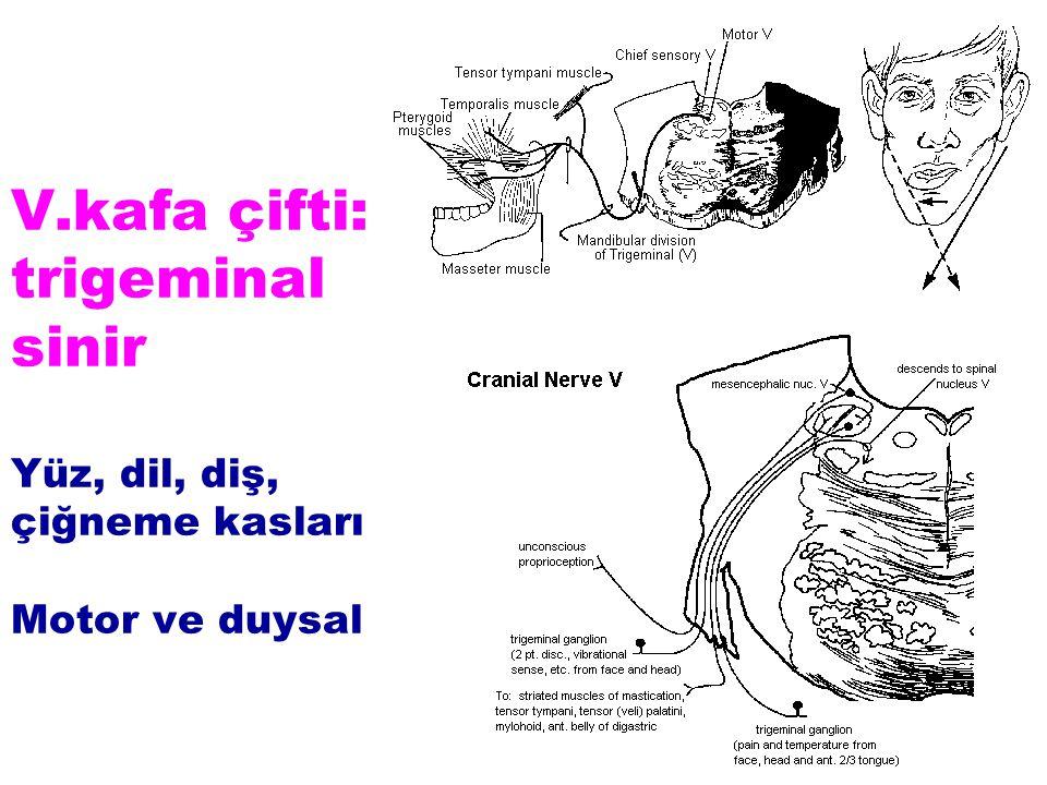 V.kafa çifti: trigeminal sinir Yüz, dil, diş, çiğneme kasları Motor ve duysal