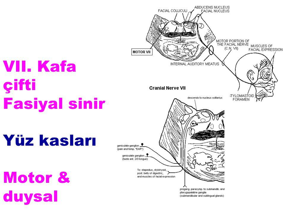 VII. Kafa çifti Fasiyal sinir Yüz kasları Motor & duysal