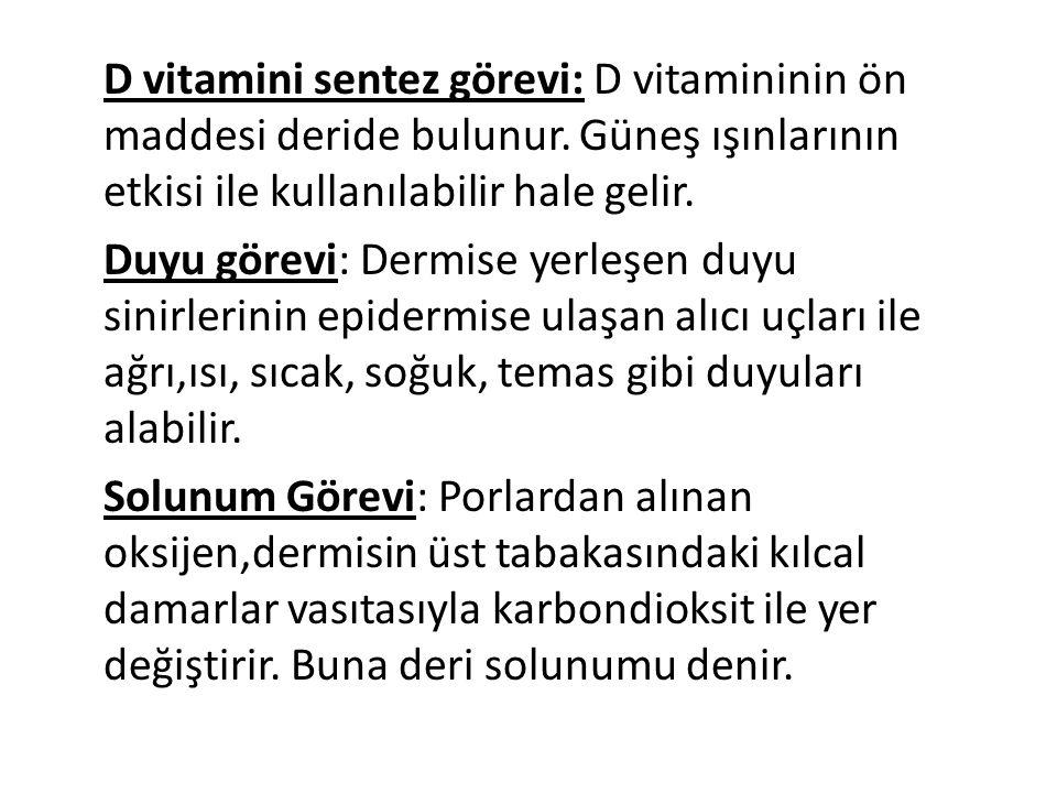 D vitamini sentez görevi: D vitamininin ön maddesi deride bulunur