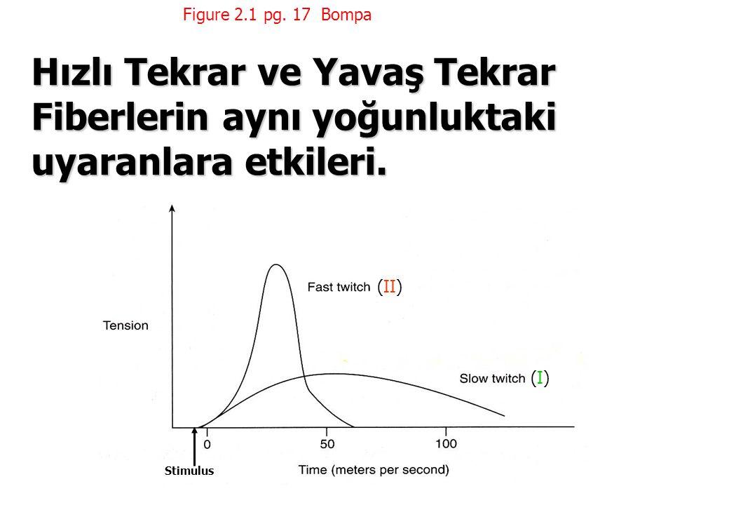 Figure 2.1 pg. 17 Bompa Hızlı Tekrar ve Yavaş Tekrar Fiberlerin aynı yoğunluktaki uyaranlara etkileri.