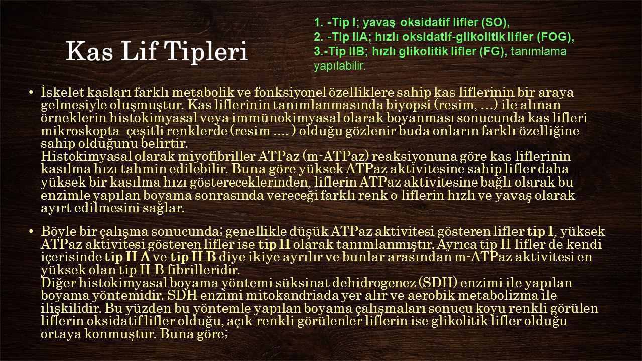 1. -Tip I; yavaş oksidatif lifler (SO),
