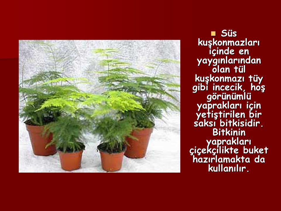 Süs kuşkonmazları içinde en yaygınlarından olan tül kuşkonmazı tüy gibi incecik, hoş görünümlü yaprakları için yetiştirilen bir saksı bitkisidir.