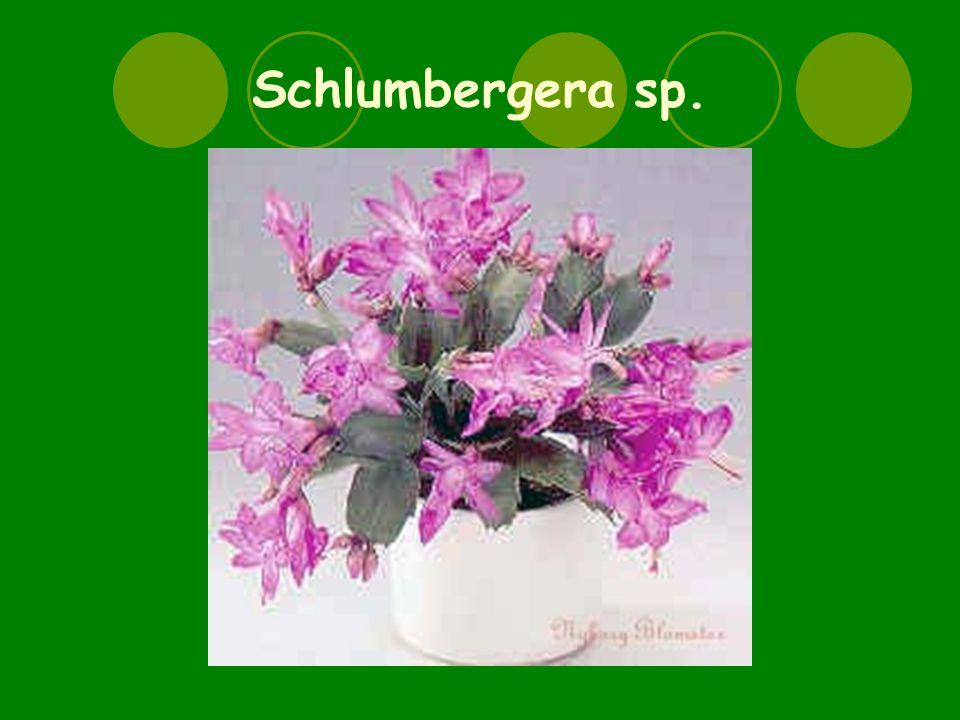 Schlumbergera sp.