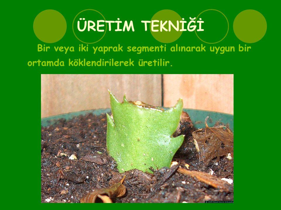 ÜRETİM TEKNİĞİ Bir veya iki yaprak segmenti alınarak uygun bir ortamda köklendirilerek üretilir.