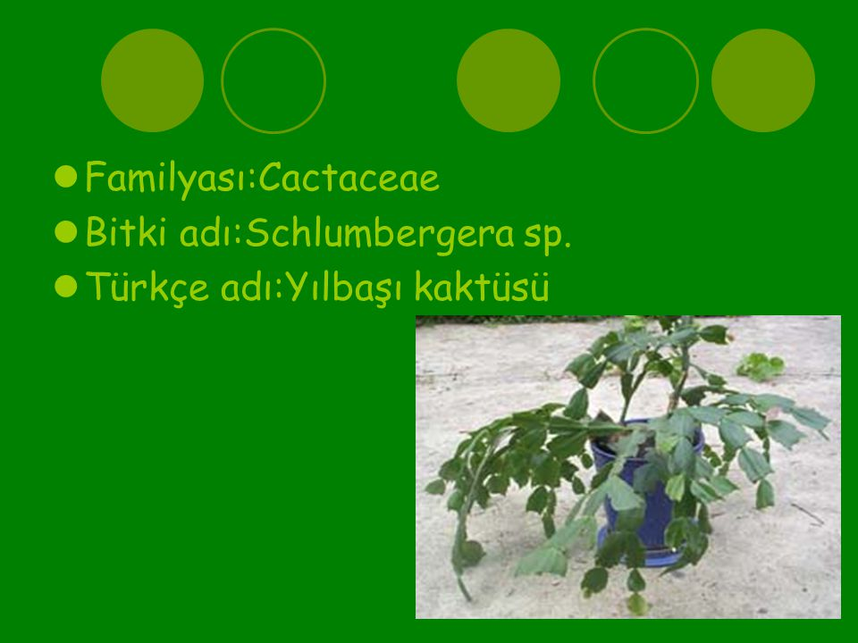 Familyası:Cactaceae Bitki adı:Schlumbergera sp. Türkçe adı:Yılbaşı kaktüsü