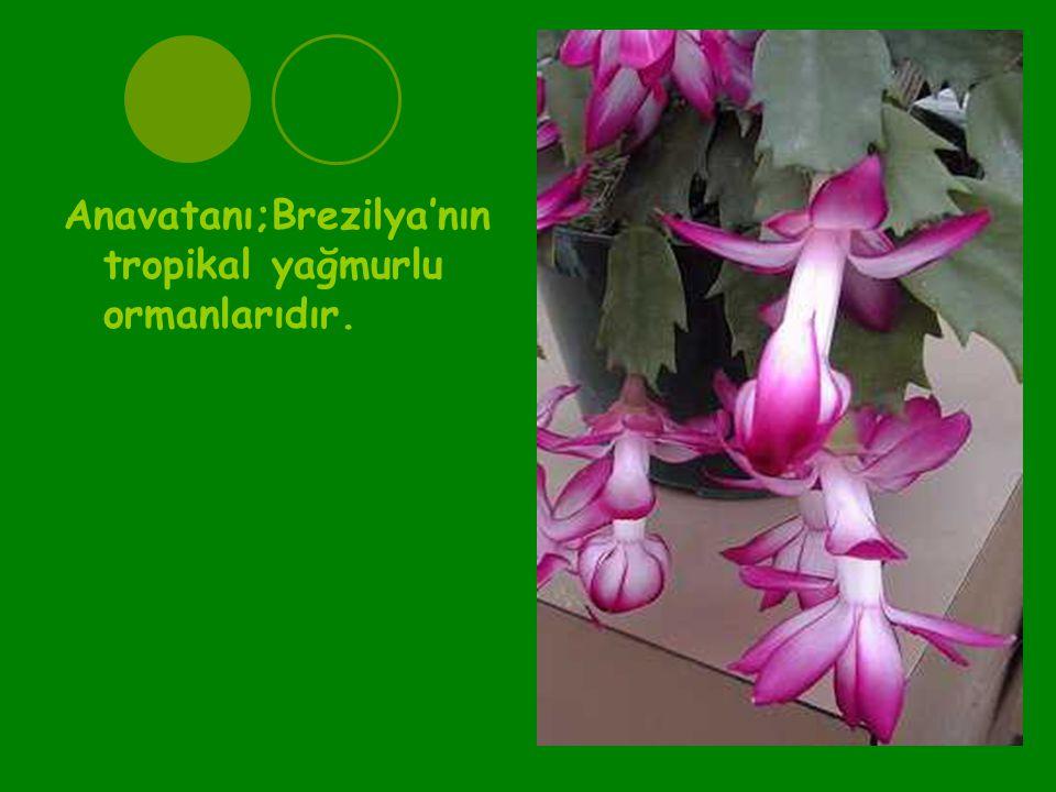 Anavatanı;Brezilya'nın tropikal yağmurlu ormanlarıdır.