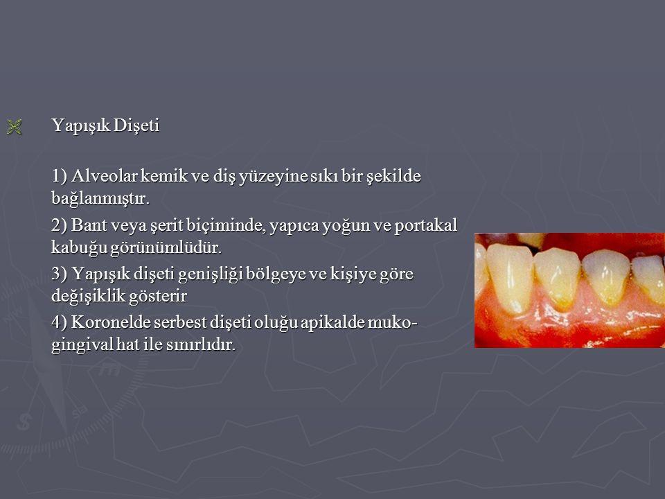 Yapışık Dişeti 1) Alveolar kemik ve diş yüzeyine sıkı bir şekilde bağlanmıştır.