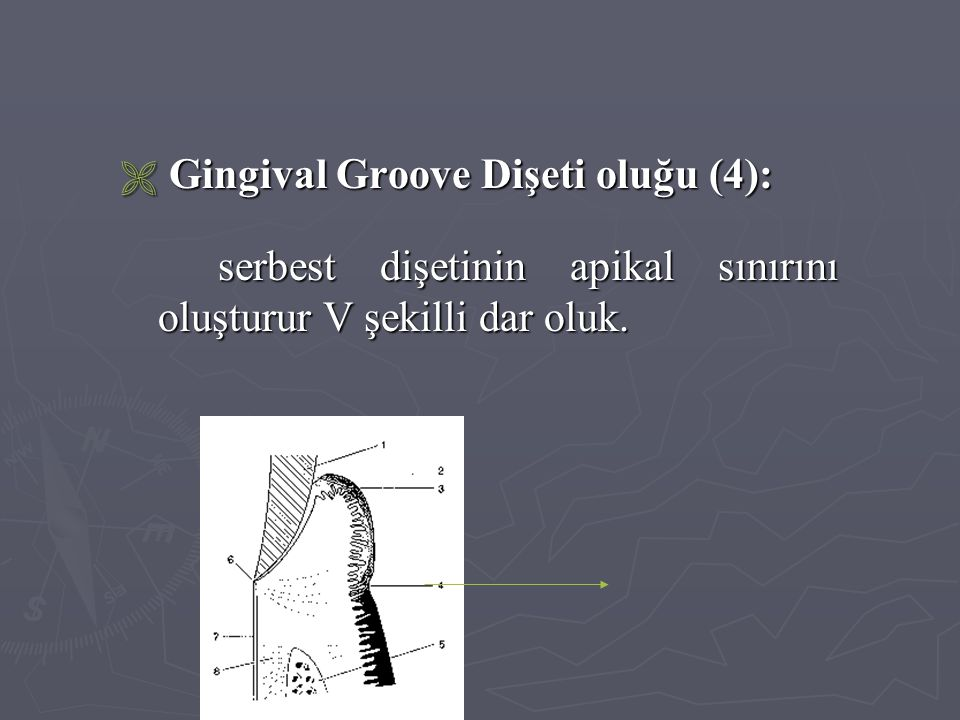 Gingival Groove Dişeti oluğu (4):