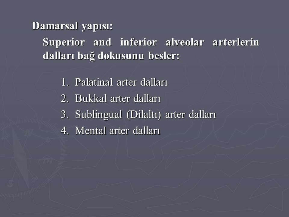 Damarsal yapısı: Superior and inferior alveolar arterlerin dalları bağ dokusunu besler: 1. Palatinal arter dalları.