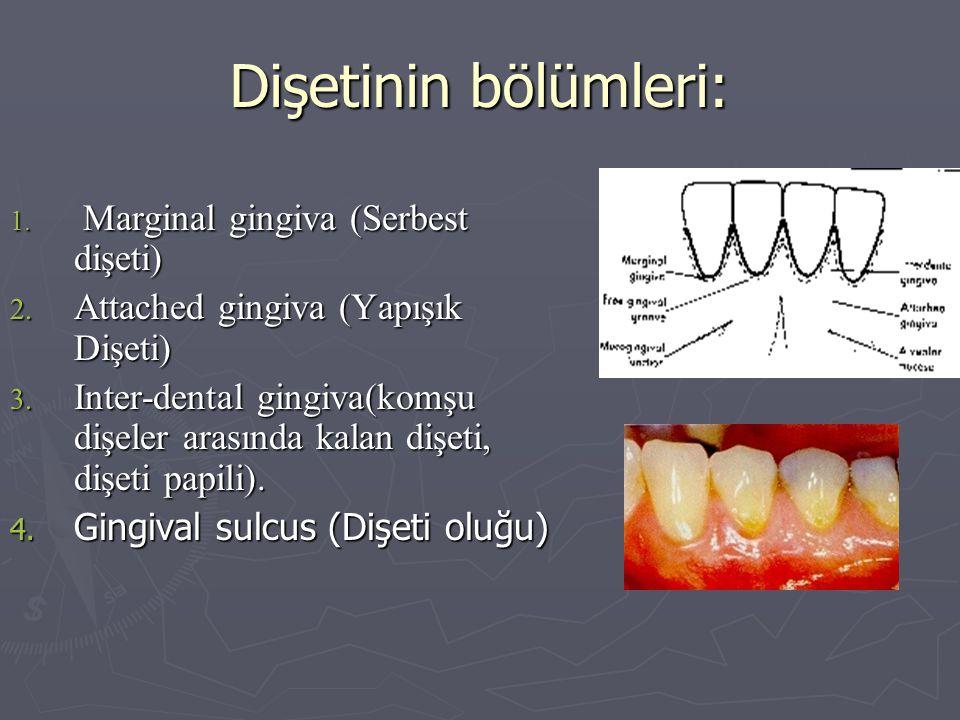 Dişetinin bölümleri: Attached gingiva (Yapışık Dişeti)