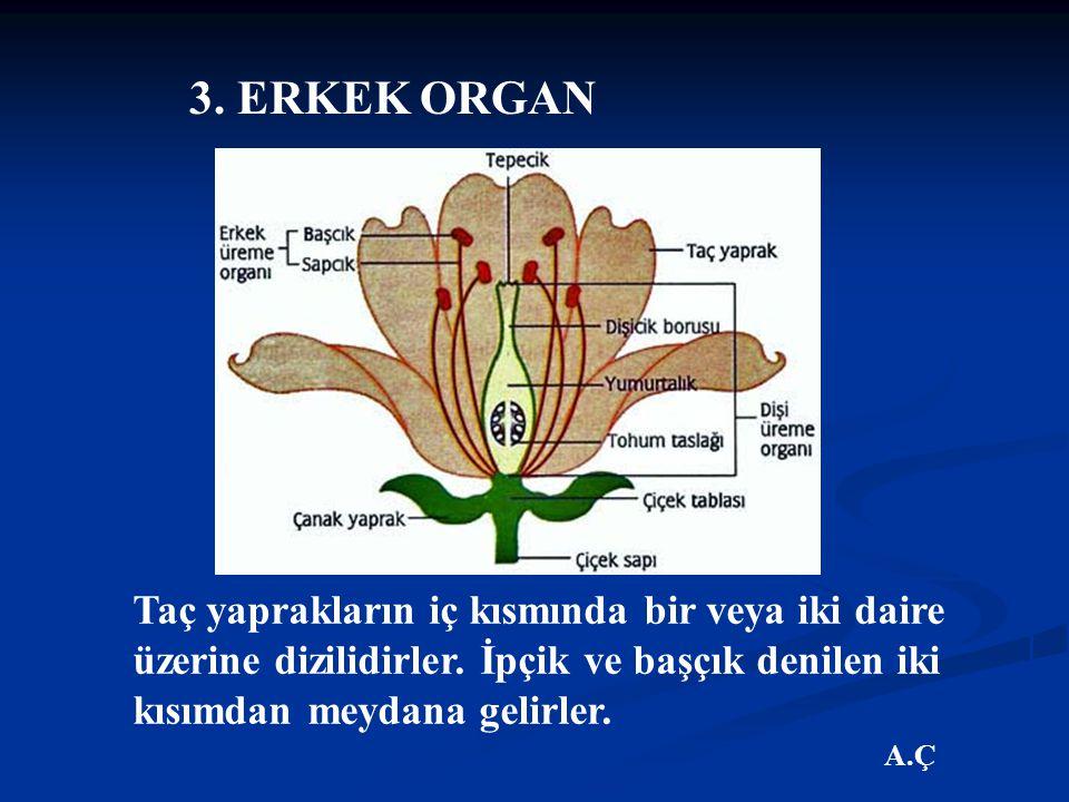 3. ERKEK ORGAN Taç yaprakların iç kısmında bir veya iki daire üzerine dizilidirler. İpçik ve başçık denilen iki kısımdan meydana gelirler.