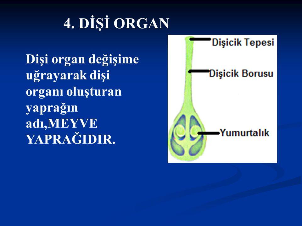 4. DİŞİ ORGAN Dişi organ değişime uğrayarak dişi organı oluşturan yaprağın adı,MEYVE YAPRAĞIDIR.