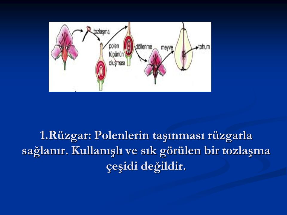 1. Rüzgar: Polenlerin taşınması rüzgarla sağlanır